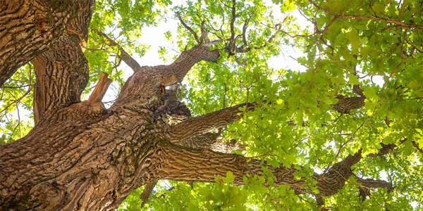 Looking up into the canopy of an oak tree