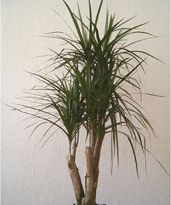 Dragon Tree (Dracaena)
