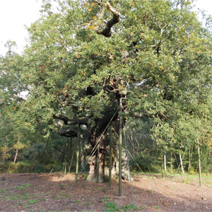 Britain's favourite tree, The Major Oak, is believed to be between 800–1000 years old