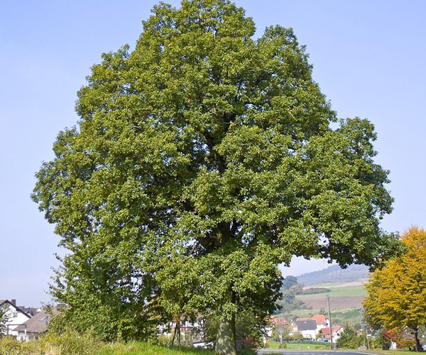 An English oak (Quercus robur) a national symbol of England